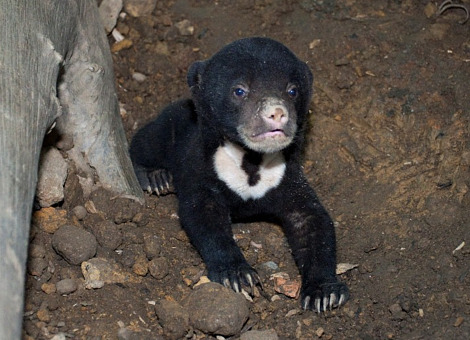 Baby sun bear singapore zoo 1 rs