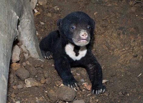 Baby sun bear singapore zoo 1 rs