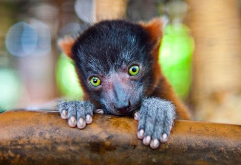 Lemur_01