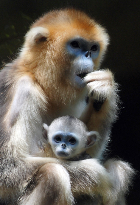 Baby golden snub nosed monkey everland zoo 2b