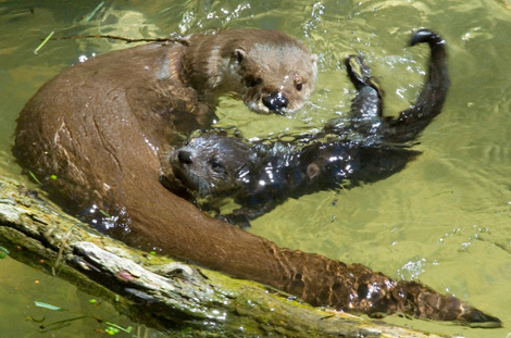 Swirling-otters