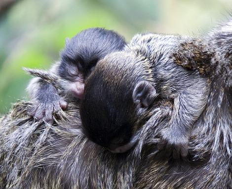 Baby tamarin twin zsl london zoo rs