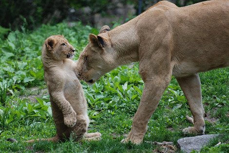Lion cub and mom bronx zoo 1