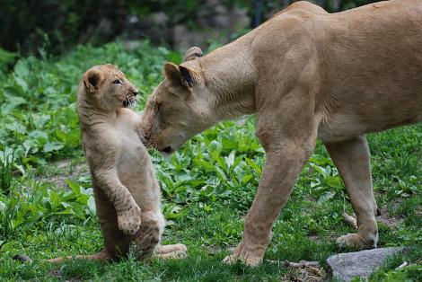 Lion cub and mom bronx zoo 1