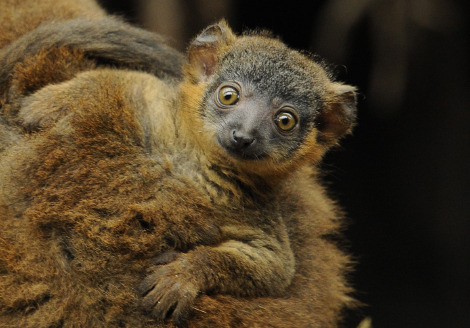 Baby collared lemur and baby bronx zoo 1b