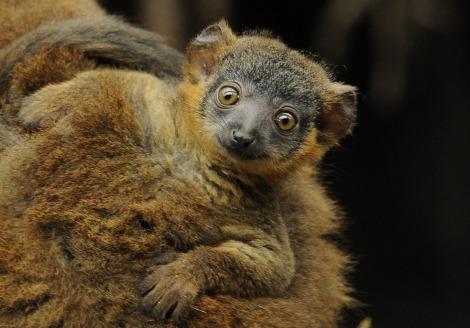 Baby collared lemur and baby bronx zoo 1b