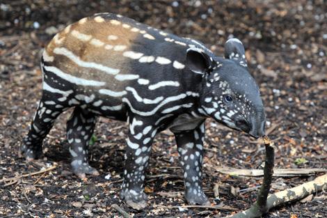 Tapir-sniff