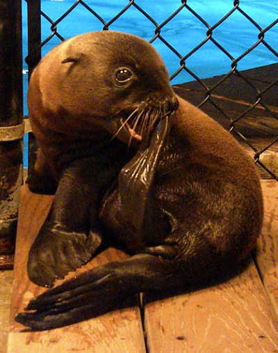 Baby sea lion pup oceans of fun 7