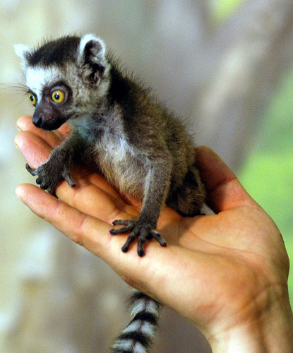 Bite-Sized Ring-Tailed...