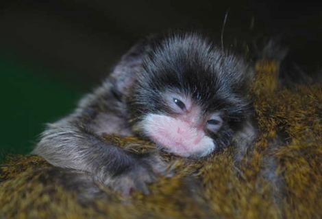Baby tamarin san francisco zoo 1