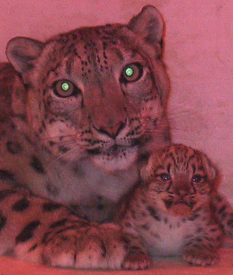 Snow leopard cub and mother buffalo zoo 1 rsb