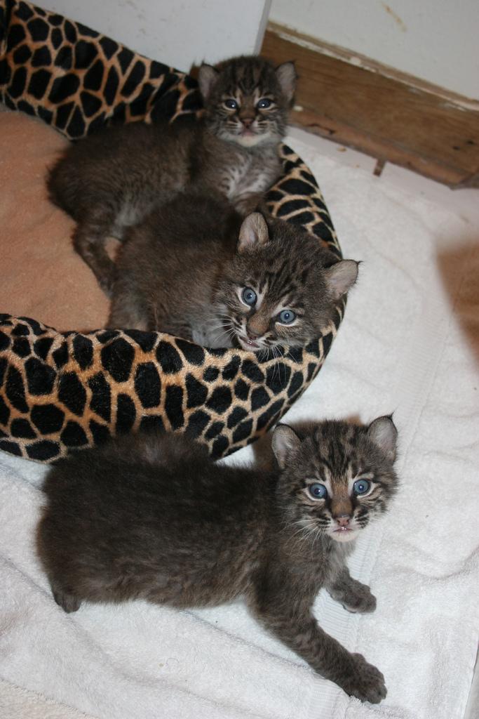 A Sack Of Bobcat Kittens Zooborns