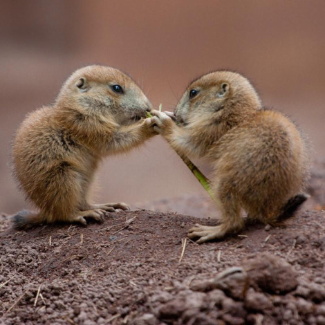 Prairie dog pups numberg zoo 3