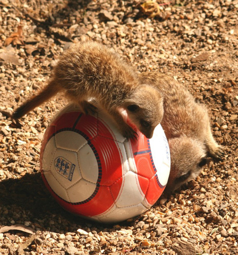 Meerkat_baby_on_football-small