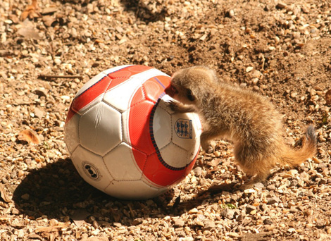 Meerkat_baby_with_england_football-small