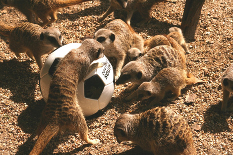 Meerkat_family_with_football-small