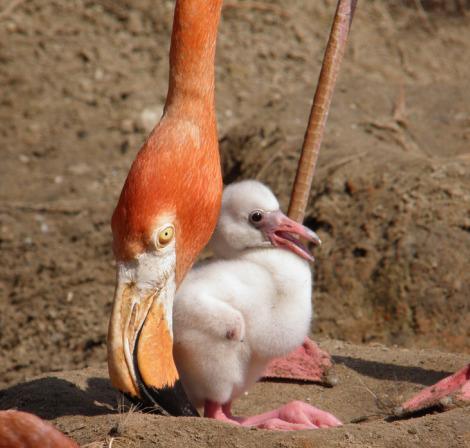 Baby flamingo chick audubon zoo 1