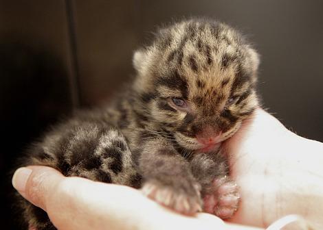 Nashville Clouded Leopard Cub 3 - Christian Sperka