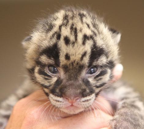 Nashville Clouded Leopard Cub 4 - Christian Sperka