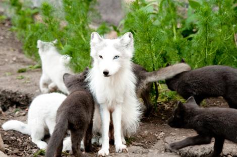 Arctic Fox Pup Pile On Zooborns