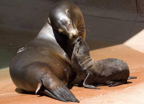 Sea lion pup denver zoo 1