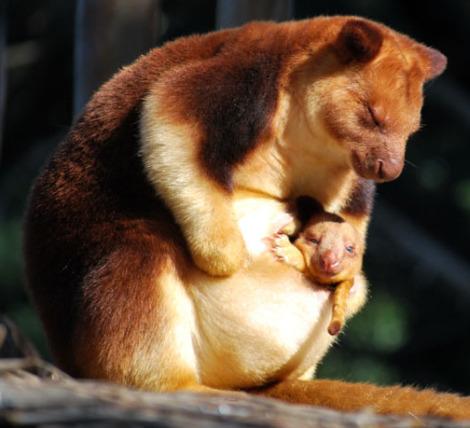 Goodfellows tree kangaroo joey melbourne zoo 2