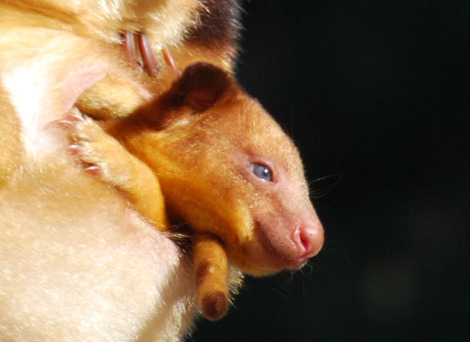 Goodfellows tree kangaroo joey melbourne zoo 4