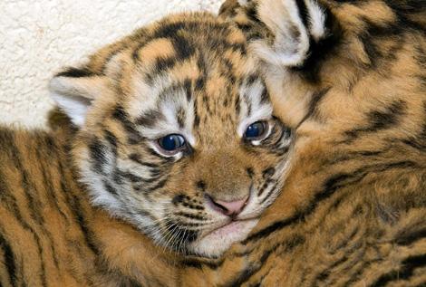 Denver Zoo Baby Tiger6