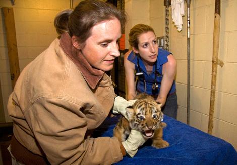 Denver Zoo Baby Tiger2