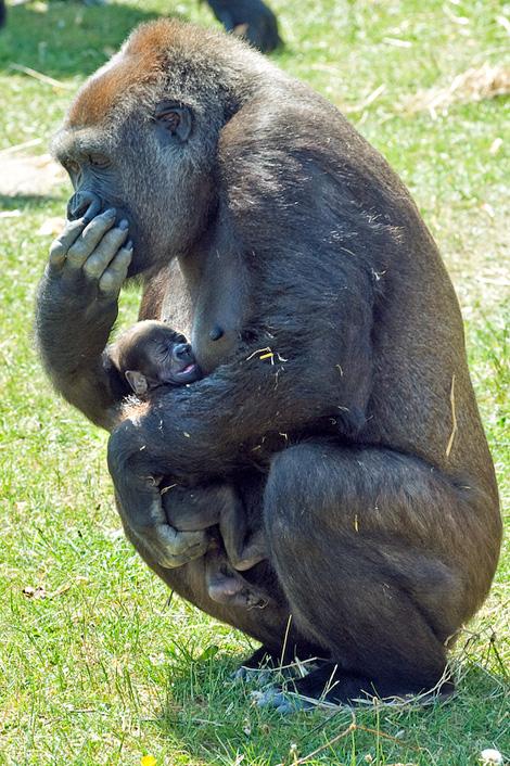Blackpool-Zoo-baby-gorilla