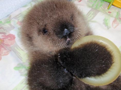 Baby sea otter alaska sealife center 2