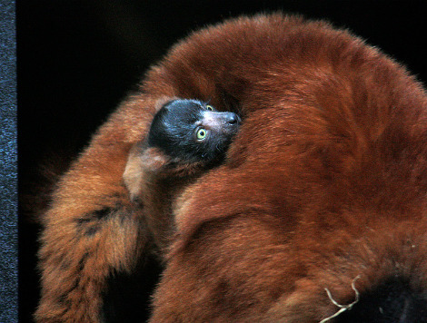 Red ruffed lemur cleveland metro parks 6