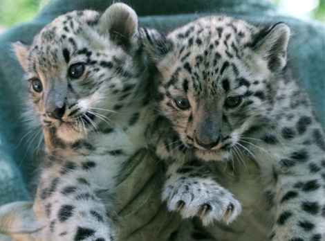Cape-May-County-Snow-Leopards-3