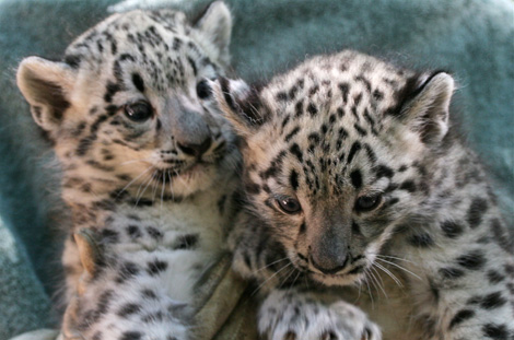 Name The Snow Leopard Cubs Zooborns