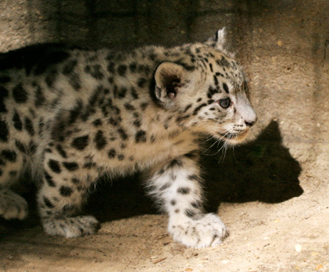 Cape-May-County-Snow-Leopards-4