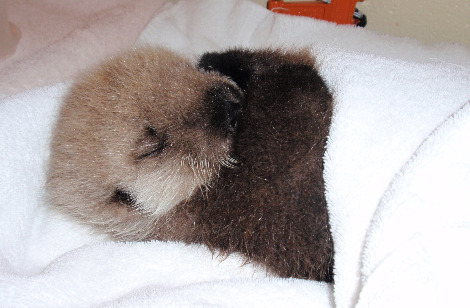 Baby sea otter tazo alaska sealife center 2