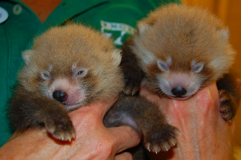 Baby red panda cub knoxville zoo 1