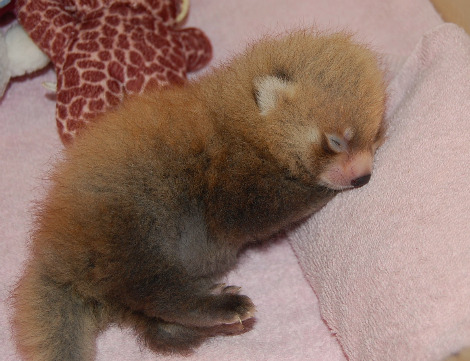 Baby red panda cub knoxville zoo 3