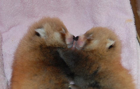 Baby red panda cub knoxville zoo 4