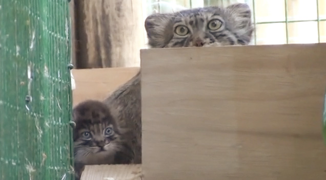 WHF-Pallas-Cats-3