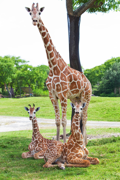 Double-the-giraffage-at-Busch-Gardens-2