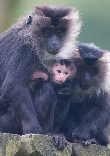 Baby lion tailed macaque belfast zoo 2 rs