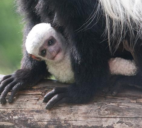 Baby colobus monkey belfast zoo 2