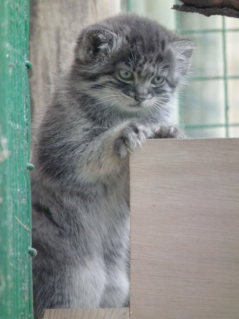 Pallas cat kittens wildlife heritage foundation 4