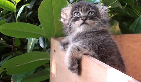 Pallas cat kittens wildlife heritage foundation 1