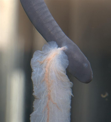 Baby aquatic caecilian tennessee aquarium 1