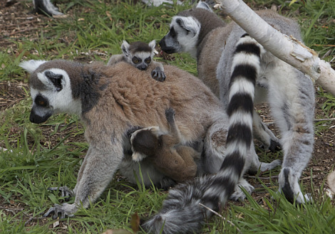 Baby ring-tailed lemur Durrell Wildlife Conservation 5 Credit Reberto Hulzebos