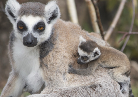 Baby ring-tailed lemur Durrell Wildlife Conservation 2
