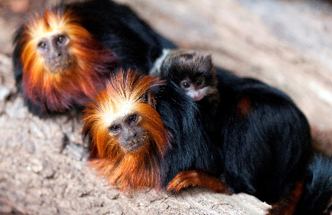 Tamarin surrogate london zoo 3c