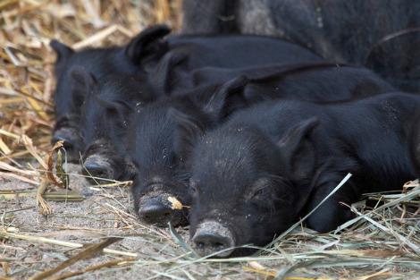 Connecticuts beardsley zoo baby guinea hog pigs 1